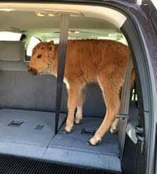 bison-calf-743