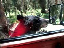 bear-in-window-RVT-747