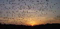bat_flight_Carlsbad-Caverns