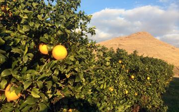 orange-grove772