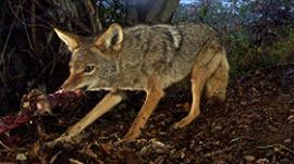 Why coyotes pose a threat to your pet in campgrounds