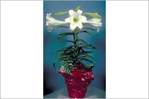 Easter lily in pot