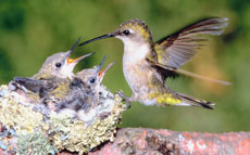 Brilliant and remarkable hummingbirds