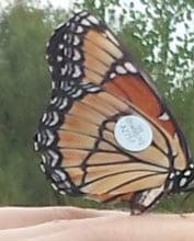 Chasing monarch butterflies