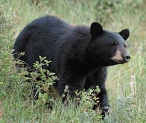 Bear rips open tent, steals bedding and pillows in Glacier NP