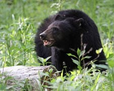 What to do if you encounter a bear in the woods