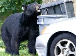 Bears are learning where and how to get food – Is hunting them the answer?