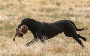 Largest U.S. retriever competition fills Oregon campgrounds