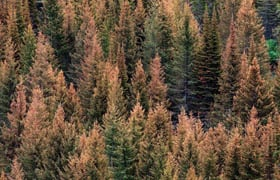 Proper handling of firewood can help curb bark beetle infestations