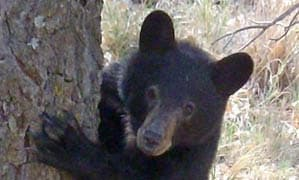 High bear activity forces closure of part of Big Bend National Park