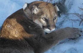 Cougar sightings spiked in the Pacific Northwest this summer