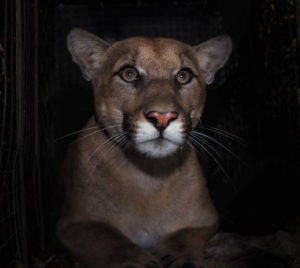 Cougar killed in road incident