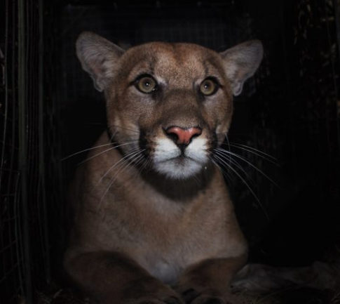 Cougar killed on California interstate had a stalker