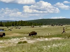 Bison chases woman who trips