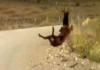 acrobatic elk