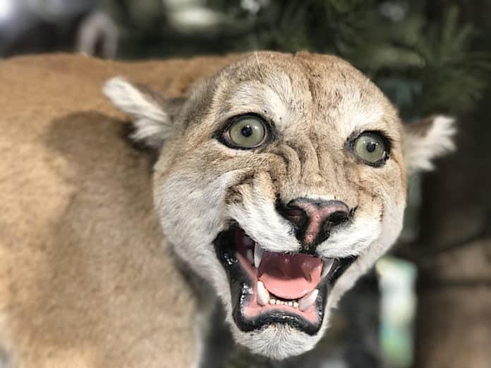 If you encounter a mountain lion, do this! - RV Travel