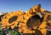 Metal Sunflowers