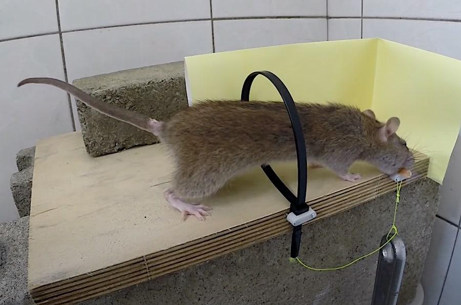 Ingenious Diy Rat Trap Why Didn T You