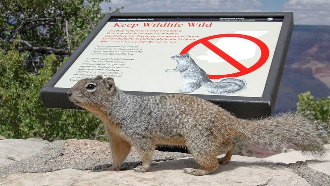 Squirrels are biting humans' fingers in the Grand Canyon National Park.